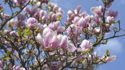 Der Tulpenbaum – Von Gustav Falke