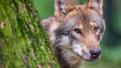Das schwierige Verhältnis von Mensch und Wolf?