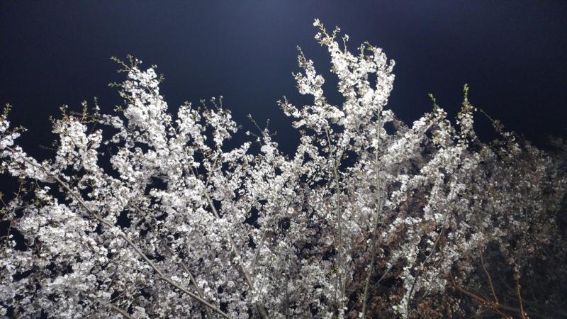 Kirschblüte bei der Nacht – Von Barthold Heinrich Brockes