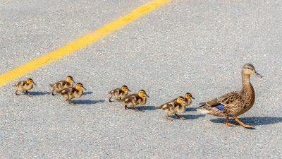 Entenfamilie spaziert auf Bundesstraße – Polizei rückt aus