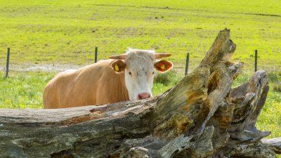 Tierischer Ausflug: Ausgebüxte Kühe halten Einsatzkräfte in Thüringen auf Trab