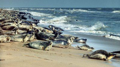 Rund 170 tote Robben am Kaspischen Meer in Russland entdeckt