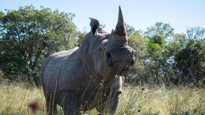 Radioaktive Abschreckung im Kampf gegen Nashorn-Wilderer
