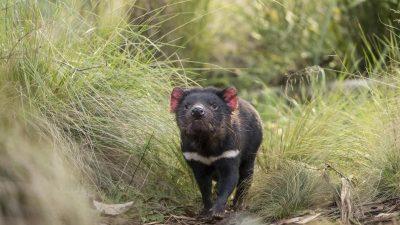Australien feiert: Tasmanische Teufel vermehren sich