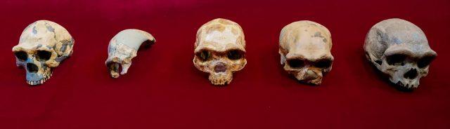 """Funde neuer menschlicher Vorfahren: der """"Drachenmann"""" aus Harbin"""