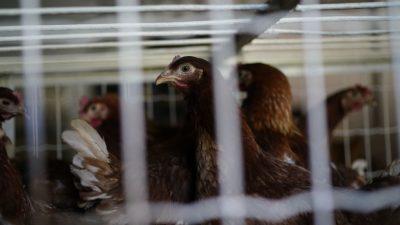 EU-Kommission will Käfighaltung von Nutztieren beenden