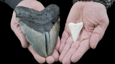 """Fehler in Mathestunde führt zu """"größeren"""" Erkenntnissen über gigantischen Urzeit-Hai Megalodon"""