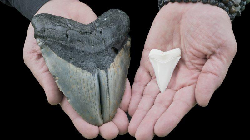 Vergleich eines Zahns von Megalodon und Weißem Hai