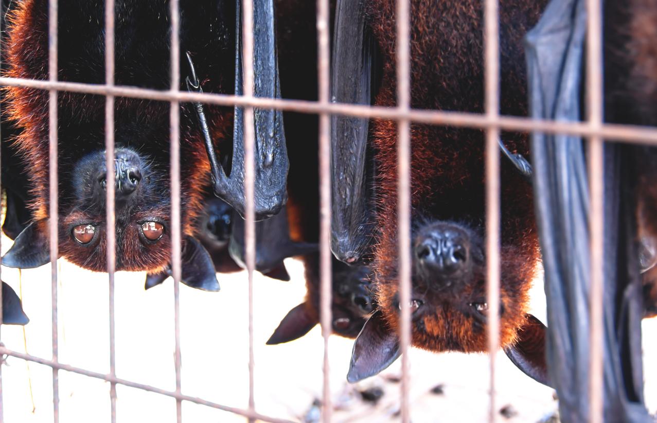 Oxford-Studie: Auf dem Tiermarkt in Wuhan wurden keine Fledermäuse oder Schuppentiere verkauft