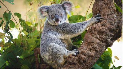 Australische Forscher testen Gesichtserkennung für Koalas