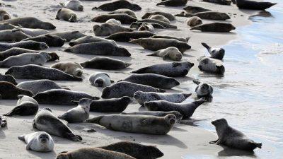 Seehund-Zählung im Wattenmeer gestartet