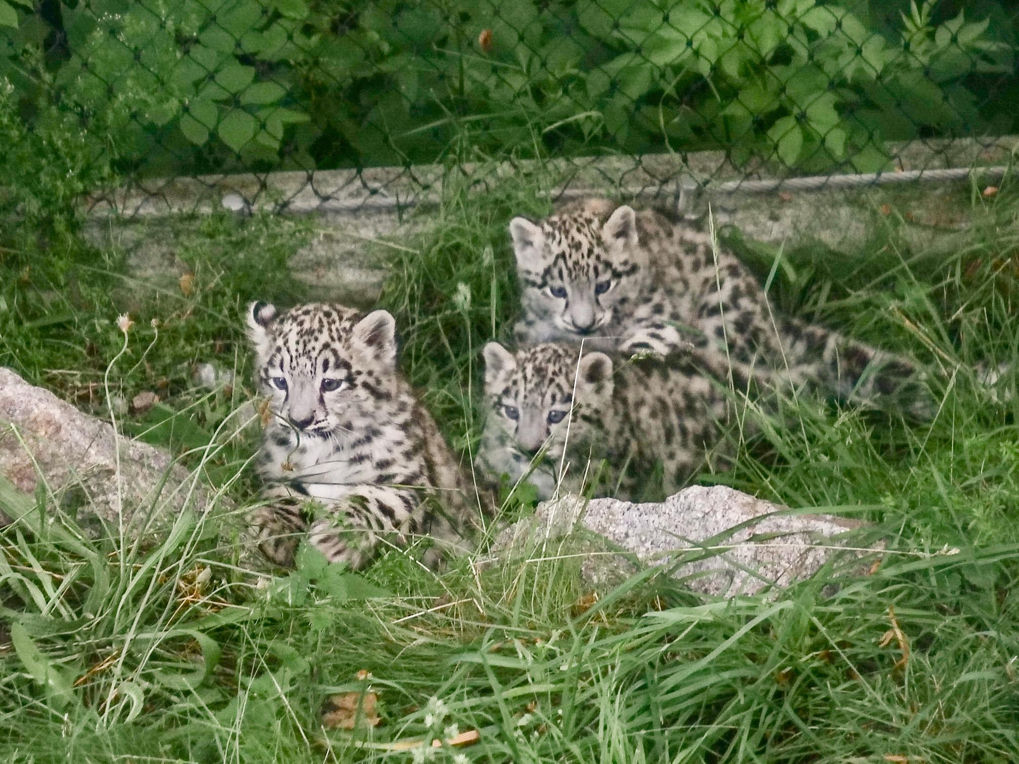 Kuscheliges Trio: Schneeleoparden-Babys aus Stuttgarter Zoo haben Ausgang