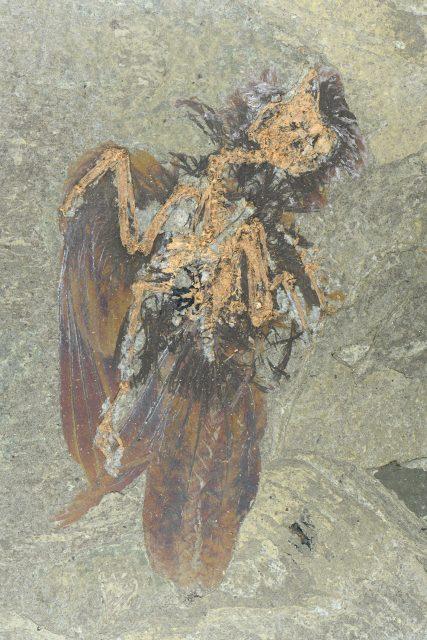 Vogelfossil aus der Grube Messel