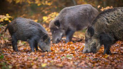 """Wildschweine für das Klima """"schlimmer als eine Million Autos"""""""
