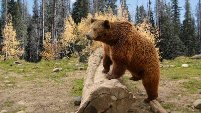 Mann offenbar eine Woche lang in Wildnis von Alaska von Bär verfolgt