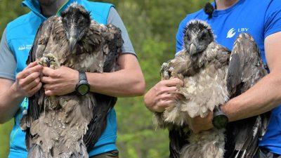Nach Ausrottung: Ausgewilderte Bartgeier kurz vor Erstflug