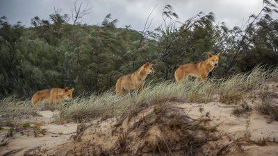 Halsbandkamera enthüllt erstmals das geheime Leben der Dingos