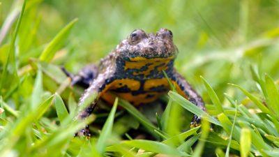 Amphibien und Reptilien in Deutschland am stärksten im Bestand gefährdet