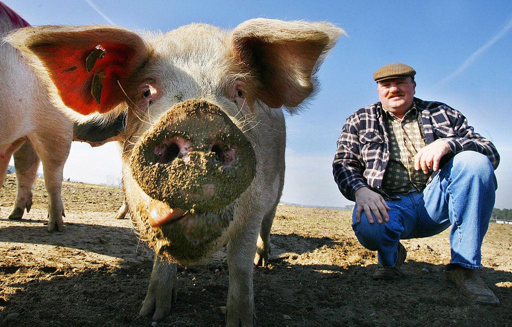 Politik sagt Schweinebauern Finanzhilfen zu