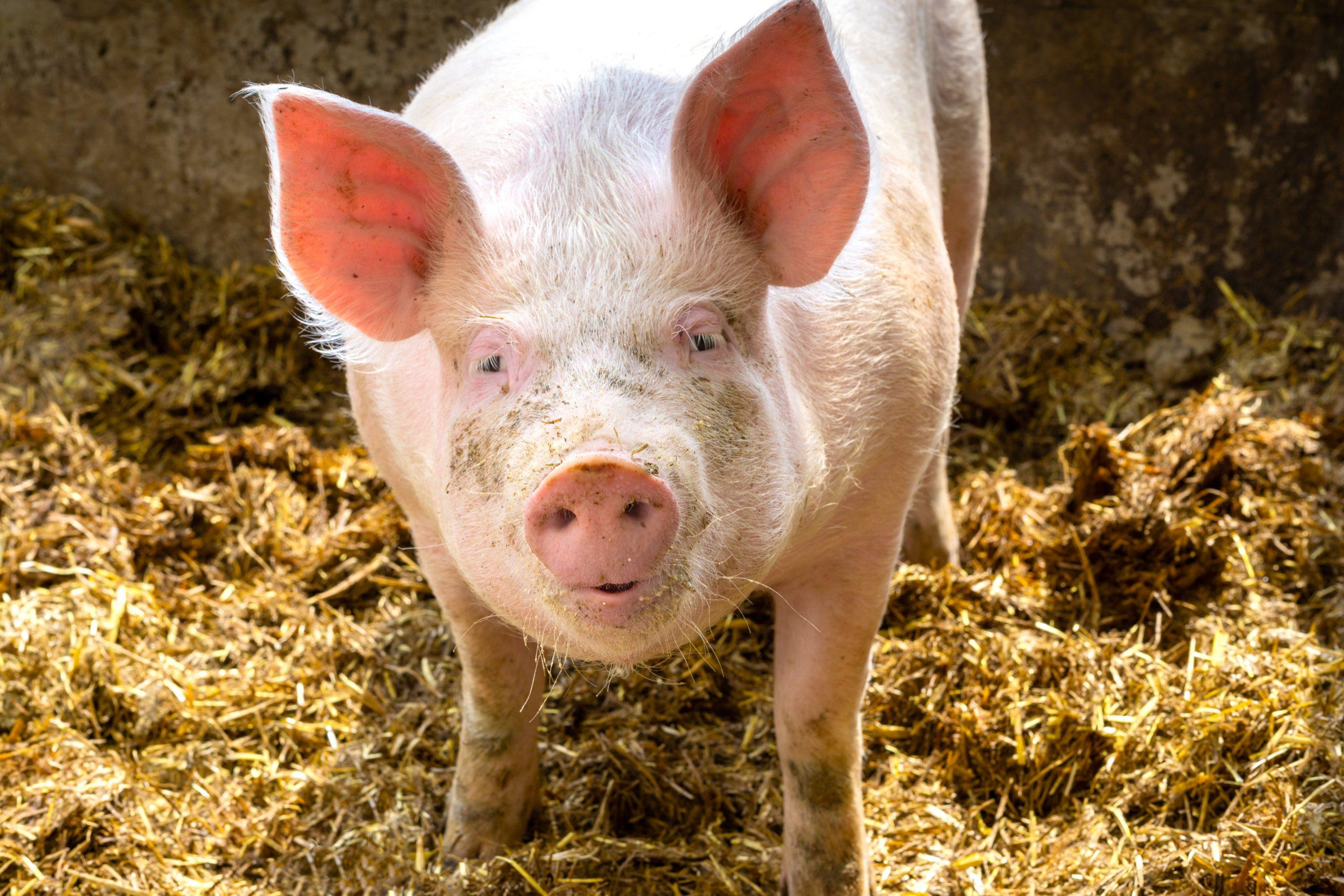 Schweinepest und Corona – Bauern spüren den Preisdruck