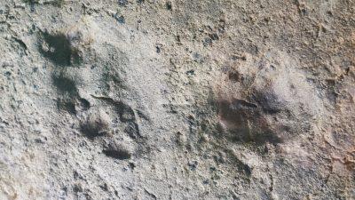 Uralte Fußspuren belegen menschliche Präsenz in Amerika schon in der Eiszeit