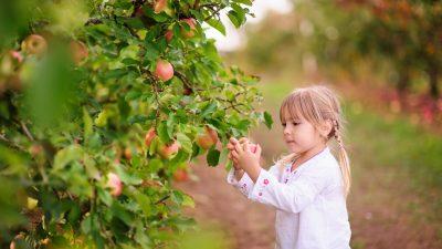 Apfelkuchen – vom Obstgarten in den Backofen
