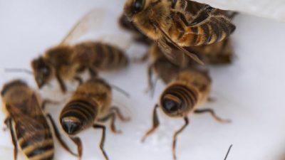 Paarung der Inselgäste: Der fruchtbare Sommer der Bienen