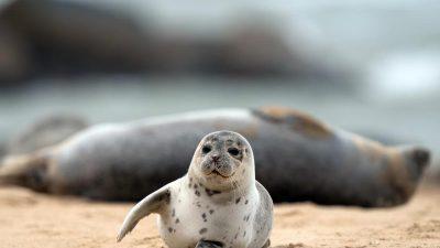 """Seehund-Zählung in der Themse: """"Der Fluss ist voller Leben"""""""
