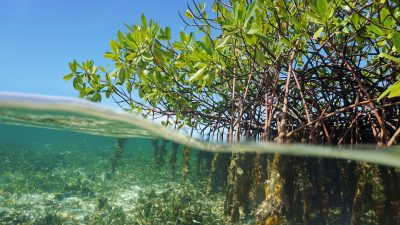 Mangroven auf der Yucatán-Halbinsel offenbaren gesunkenen Meeresspiegel